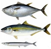 赤身魚とヒスタミン中毒