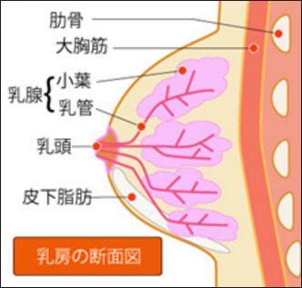 乳癌 乳房内側面図